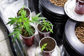 Marijuana growers use approximately 6 gallons of water daily and provide 18 hours of continuous light. SHFWire Photo by Matias J. Ocner